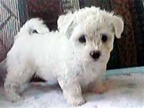 caney fork bichon and havanese caney fork bichon
