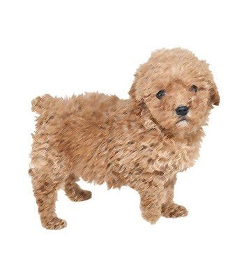 lifespan of teacup poodle teacup poodle breed information