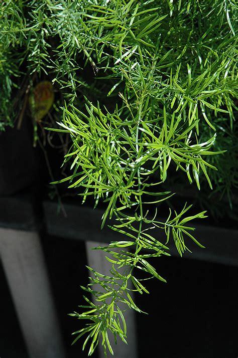 sprengeri asparagus fern asparagus densiflorus sprengeri