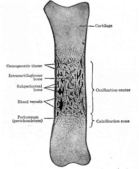 Longitudinal Section Of Bone by Book Text Book Of Embryology 9 Embryology