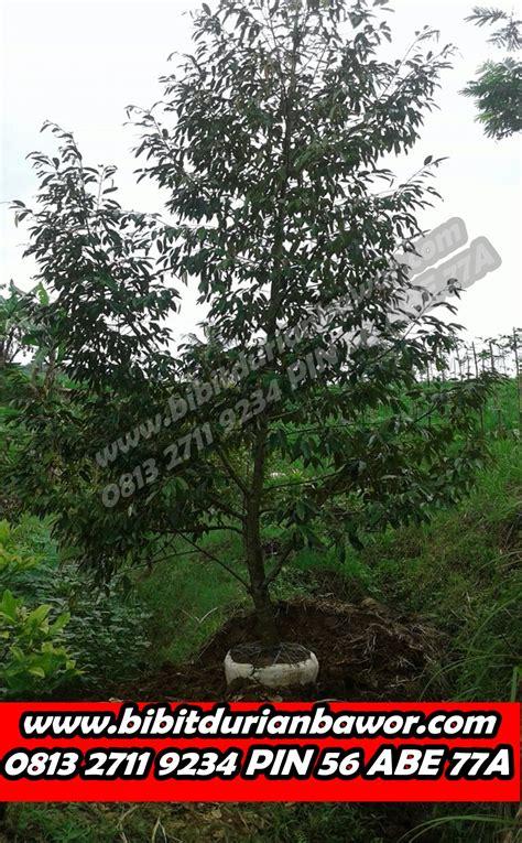 Bibit Pohon Durian Merah durian montong bibit durian montong bibit durian unggul