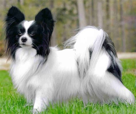 papillon dogs incredibly smart don t shed and not