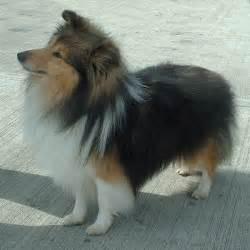 belgian sheepdog weight シェットランド シープドッグ wikipedia