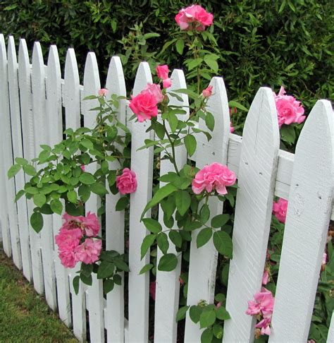 pink roses   white picket fence peeking