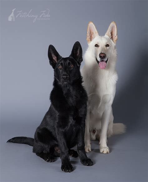 black and white german shepherd black and white german shepherd and cat pictures to pin on pinsdaddy