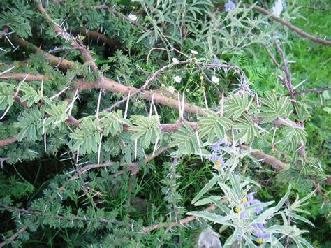 pin weeds with thorns and thistles on pinterest