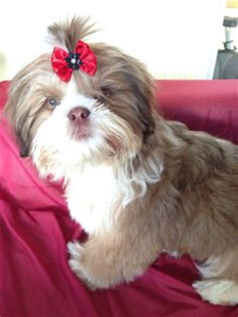 liver and white shih tzu sale color non fading white liver shih tzu 5 months for sale cuties