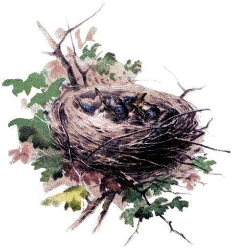 baby birds image  nest  graphics fairy