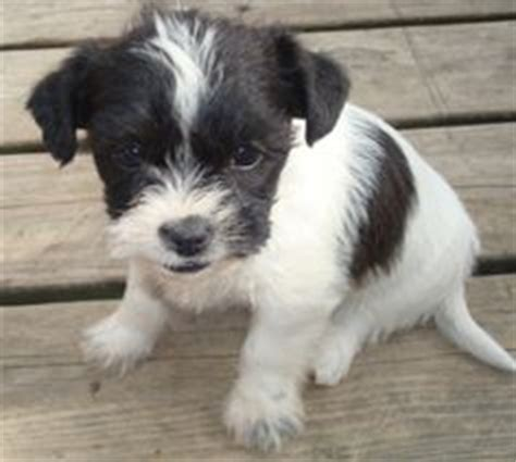rat terrier shih tzu mix the world s catalog of ideas