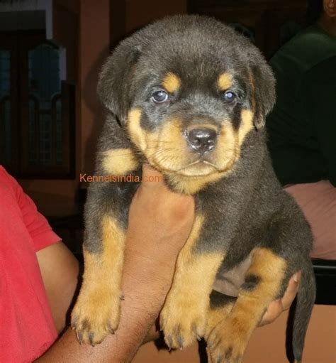 rottweiler for sale in kerala show quality rottweiler puppies for sale in kerala dogs in our photo