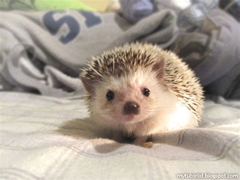 hedgehog bed poggles the wonderful hedgehog behind mytutorlist com