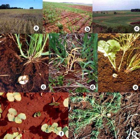 Planta Online embrapa trigo