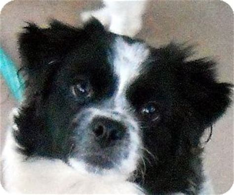 border collie pug thelma adopted 120049 oakley ca pug border collie mix