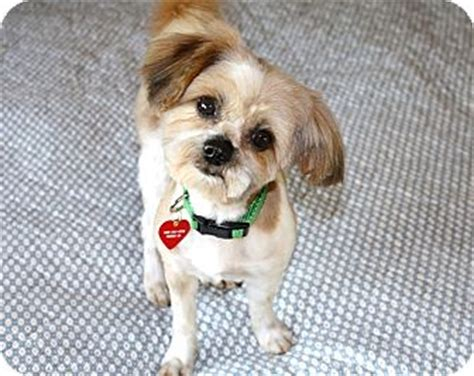 Do Shih Tzu Shed by Leo I Do Not Shed Adopted Bellflower Ca Shih