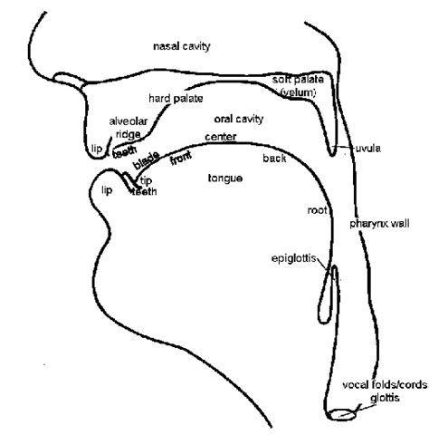 vocal organs diagram opinions on vocal tract