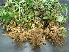 Where Are Planters Peanuts Grown by Complete Information About Groundnut Plant Eagriculture