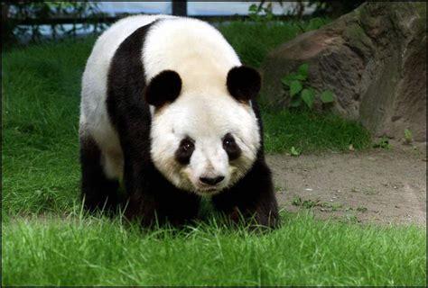 oso panda oso panda 0805087567 una tala ilegal en el santuario de pandas de sichuan en china pone en peligro a la especie