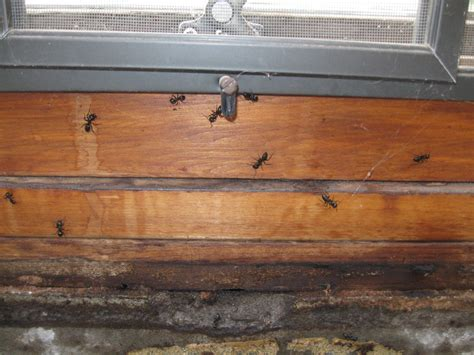 How To Treat Borer In Furniture by Wood Borer Wood Beetles
