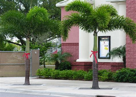 Garden Center Fort Myers Foxtail Palm Trees For Sale Fort Myers