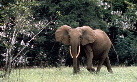 an forest elephant returns from the in gabon forest elephant gabon photos wwf