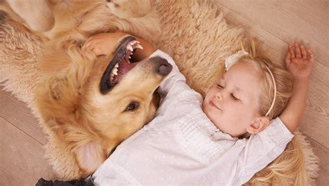 golden retriever asthma dogs may lower risk of asthma in children dogtime