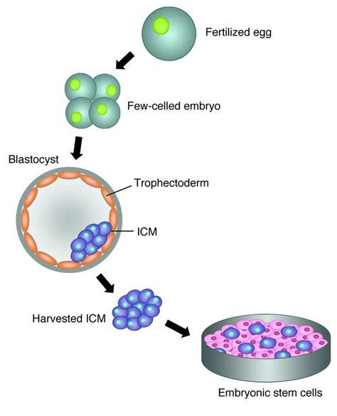 stem cells embryonic stem cells