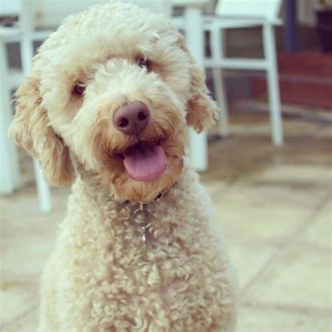 oodles dogs 17 best images about oodle groodle goldendoodle retrodoodle on