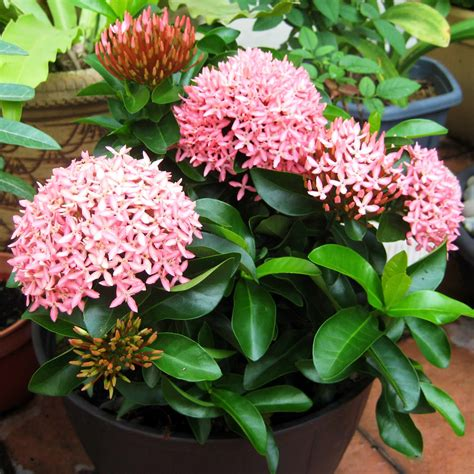 buy flowering shrubs light up your garden with ixora also known as of
