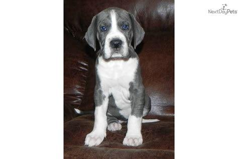 mantle great dane puppies great dane puppy for sale near atlanta f85904de 2a71