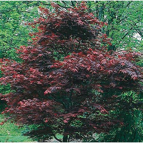 shop 5 5 gallon dwarf red japanese maple feature tree l17076 at lowes com