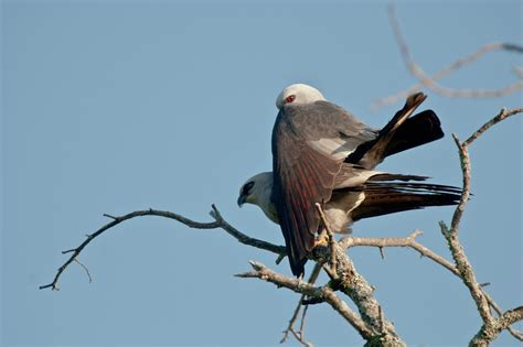 mississippi kite north central texas birds