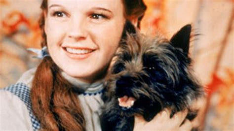 toto breed kansas would make toto breed official state fox news