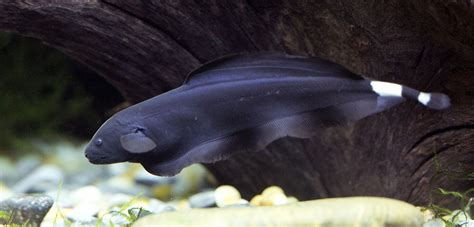 Ghost Black black ghost knife fish www pixshark images