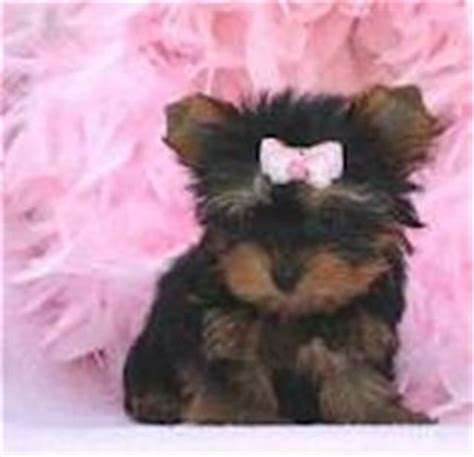 free yorkie puppies near me free puppies find puppies for free near me post your puppies for adoption