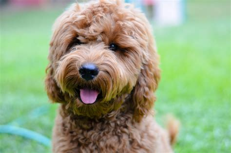 goldendoodle puppy growing goldendoodle puppy growing up mini goldendoodle puppies