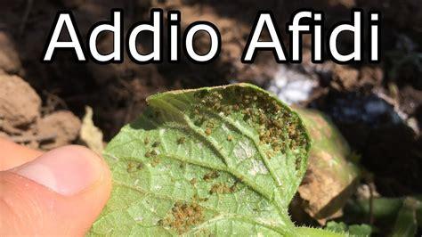 Pidocchi In Casa by Addio Afidi Rimedio Fatto In Casa