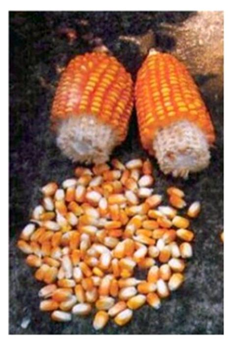 Benih Jagung Tongkol 2 harga jagung bns indonesia benih jagung varietas srikandi