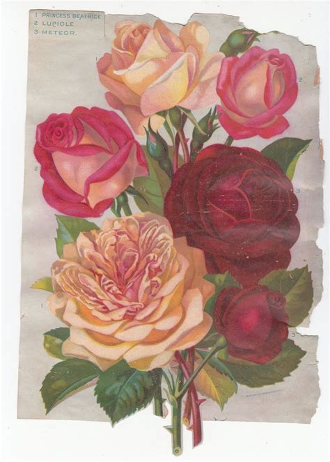 libro vintage roses beautiful varieties princess beatrice roses several old rose varieties listed catalog cutout cut out no advertising