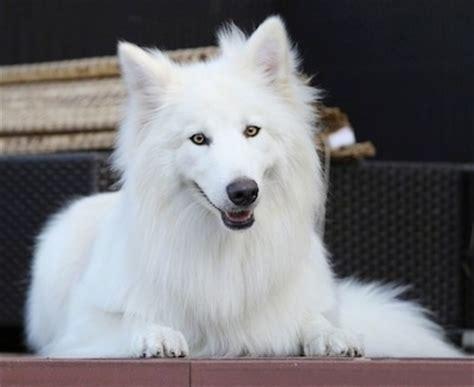 white wolf puppies white wolf puppies