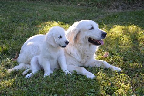 white golden retriever rescue white golden retriever myth or reality dogs rescue world