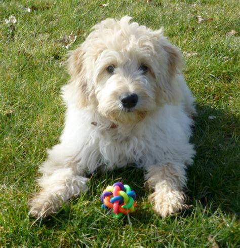 mini doodle hund goldendoodle welpen doodle hund doodle hunderassen