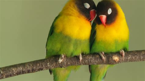 bird couple wallpaper hd download 1920x1080 hd wallpaper lovebird couple romantic