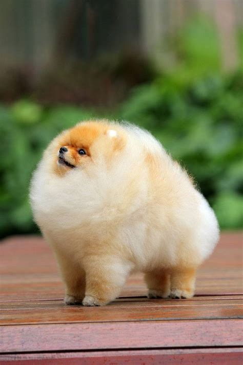 pomeranian names pomeranian names for your or puppy