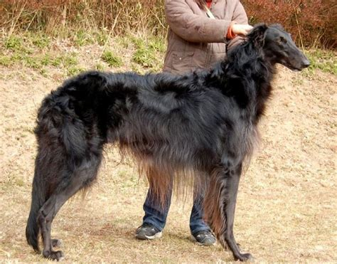 russian wolfhound puppies 1396 best borzoi russian wolfhound images on a animaux and
