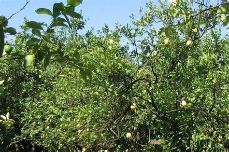 potare limone in vaso limone potatura piante da giardino potatura limone