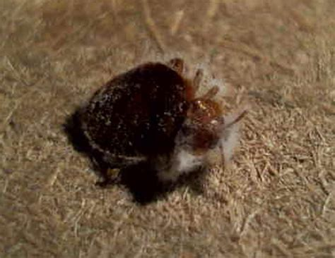 bed bug wiki bed bug wiki 28 images bed bugs pictures wiki