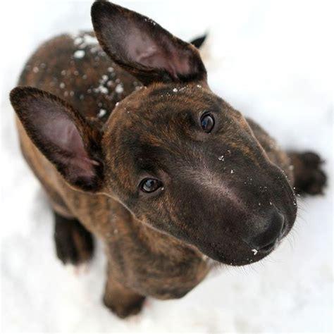 bull terrier puppies pa de 25 bedste id 233 er inden for bull terriers p 229 mini bull terriers og terrier