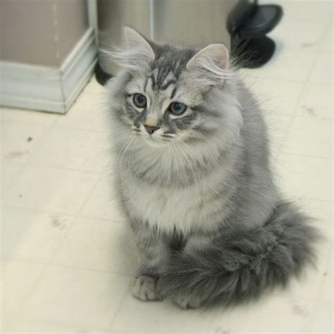 grey and white 54 most beautiful grey siberian cat photos and images