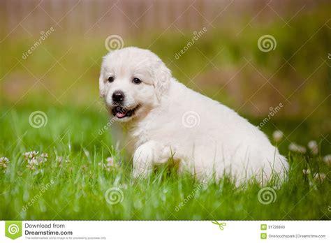 walking golden retriever puppy golden retriever puppy outdoors stock photo image 31726840