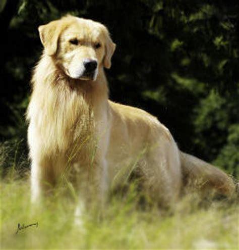 golden retriever filhote preço golden retriever guia de ra 231 a de cachorro times
